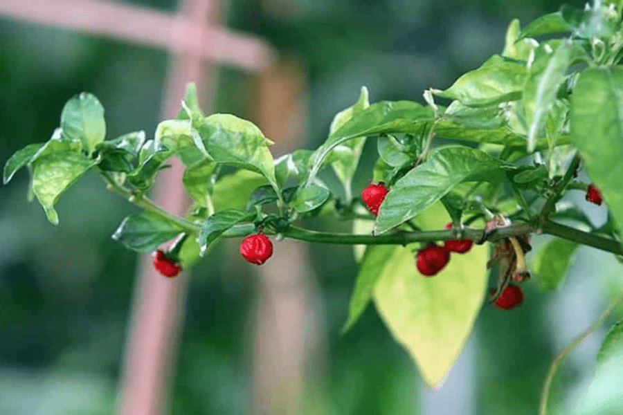 Facts to Know about Dragon Breath Pepper!